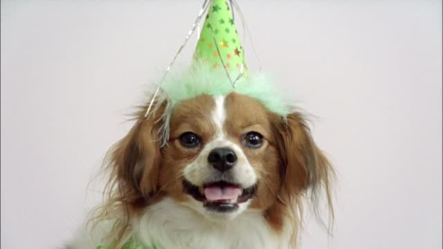 close up papillon in party hat/ california - party hat stock videos & royalty-free footage