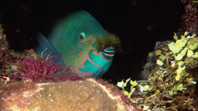 Close up parrotfish with algae growing on beak hiding in coral / Great Barrier Reef / Queensland, Australia