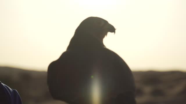 Close up, peregrine falcon in desert