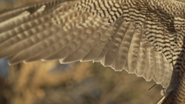 Close up, peregrine falcon wings