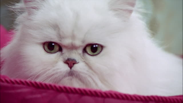 close up persian cat lying in pink cat bed - 動物の頭点の映像素材/bロール