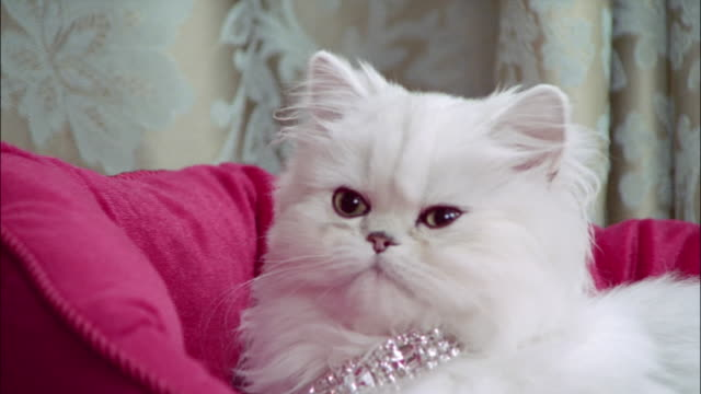close up persian cat wearing diamond collar lying in pink cat bed - excess stock videos & royalty-free footage
