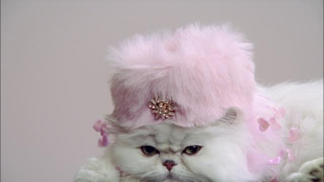 close up persian cat wearing pink pillbox hat - 2000s style点の映像素材/bロール