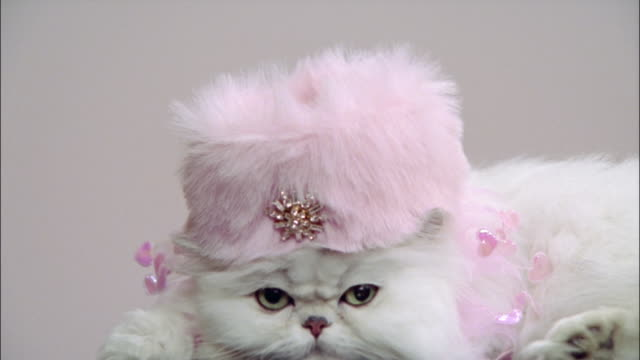 Close up Persian cat wearing pink pillbox hat