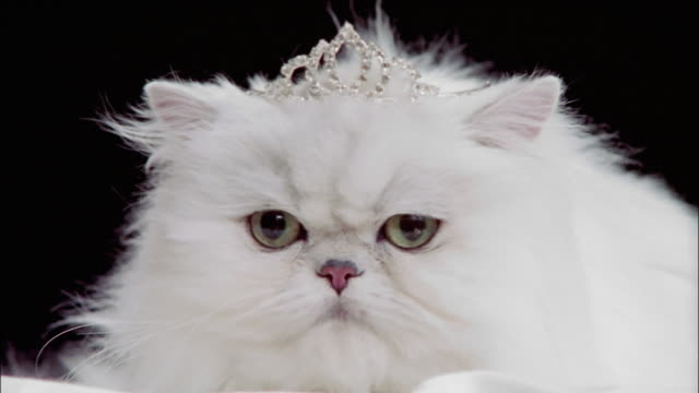 Close up persian cat wearing tiara / licking lips