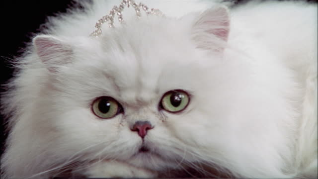 close up persian cat wearing tiara / resting head on paws / licking lips - pet clothing stock videos & royalty-free footage