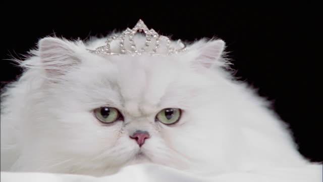 Close up persian cat wearing tiara