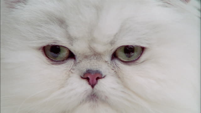 Close up persian cat wearing tiara