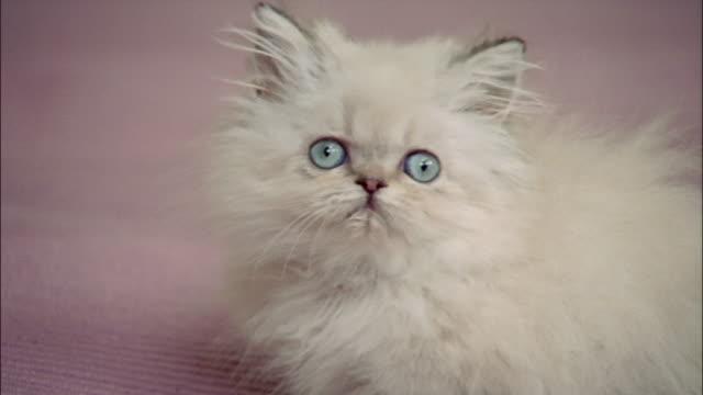 Close up Persian kitten