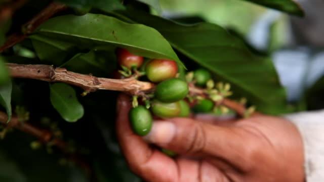 vidéos et rushes de close up, picking fresh coffee beans - cueillir