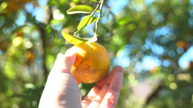närplockande färska apelsiner på fruktträdgård - vitamin c bildbanksvideor och videomaterial från bakom kulisserna