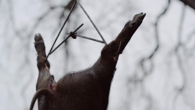 close up, pig hangs from tree - dead animal stock videos & royalty-free footage