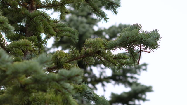 close up pine tree branch christmas tree on white background - pine branch stock videos & royalty-free footage