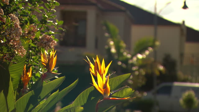 close up pink flowering grevillea branch with blurred suburban parkland in background / bird of paradise plant in suburban front yard - flowering plant stock videos & royalty-free footage