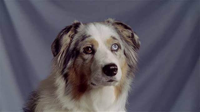 stockvideo's en b-roll-footage met close up portrait australian shepherd - australische herder