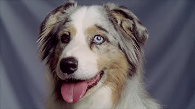 stockvideo's en b-roll-footage met close up portrait australian shepherd/ zoom in mouth - australische herder