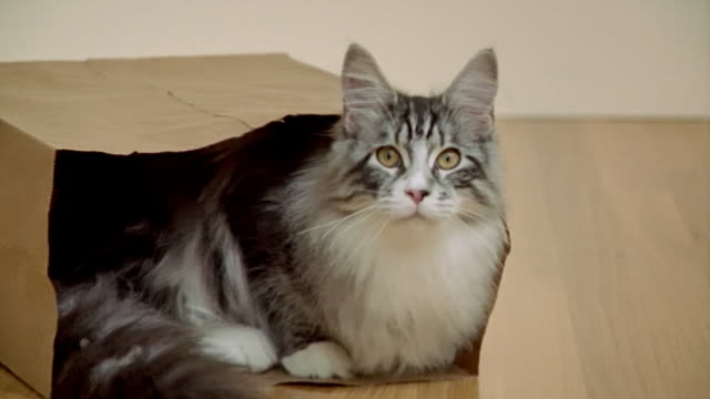 close up portrait maine coon cat sitting in paper bag/ zoom out medium shot cat in bag/ california - paper bag stock videos & royalty-free footage