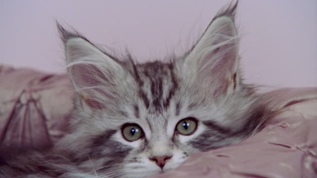 Close up portrait Maine Coon kitten in bed/ California