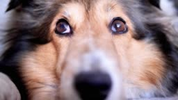 close up portrait of a cute Shetland sheepdog lying on ground and looking with shining eyes.