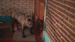 Close up portrait of a french bulldog looks straight into the camera in front of the door. beautiful nature light .Slow motion.