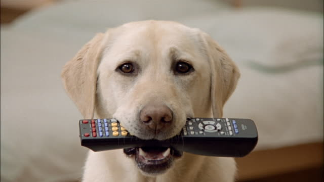 Close up portrait of a yellow labrador retriever carrying a remote control in its mouth