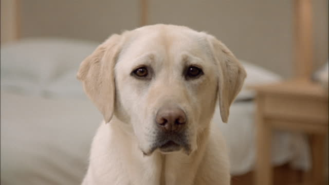 Close up portrait of a yellow labrador retriever