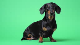 Close up portrait of cute little black and tan dachshund on green chromakey background, turning its head from side to side and looking at different corners, and finally running out.