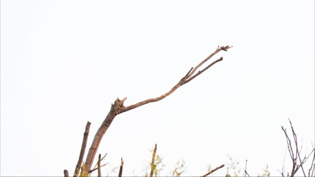 close up portrait of gray tropical bird with elongated tail feathers perched on twig and wait for insect - twig stock videos & royalty-free footage