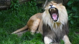 Close up portrait of male lion yawning