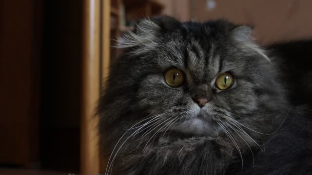 Close up portrait of serious cute gray furry scotish cat with orange eyes looking in camera and away