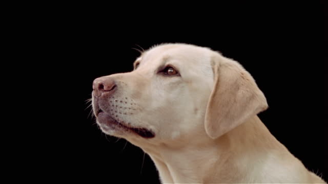 close up portrait of yellow labrador retriever barking - bark stock videos & royalty-free footage