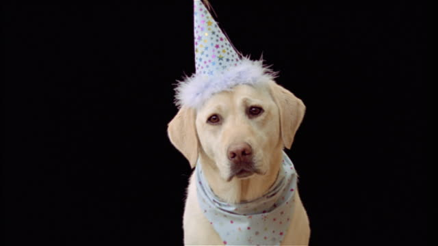 close up portrait of yellow labrador retriever wearing blue party hat and bandanna - party hat stock videos & royalty-free footage