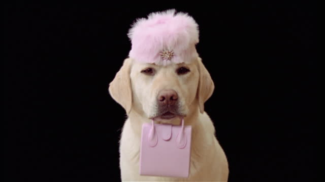 close up portrait of yellow labrador retriever wearing furry pink pillbox hat and holding pink purse in mouth - animal costume stock videos & royalty-free footage