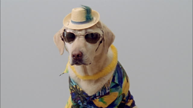 Close up portrait of yellow labrador retriever wearing hat, lei, hawaiian shirt and sunglasses
