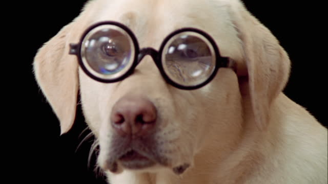 Close up portrait of yellow labrador retriever wearing thick eyeglasses