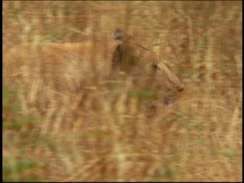 vídeos y material grabado en eventos de stock de close up pan profile female lion walking in tall grass / serengeti, tanzania, africa - animales de safari