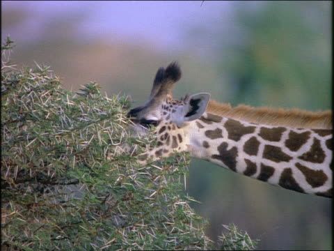 close up profile giraffe eating leaves from tree / africa - cinematografi bildbanksvideor och videomaterial från bakom kulisserna