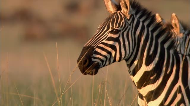 close up profile of zebra chewing and standing in tall grass / sunset / masai mara, kenya - zebra stock-videos und b-roll-filmmaterial