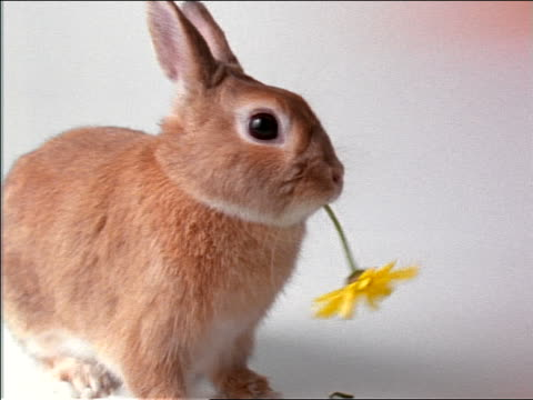 close up PROFILE rabbit eating yellow flower in studio