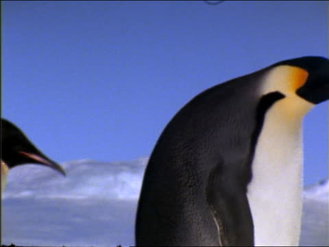 close up profile three emperor penguins walking in line - waddling stock videos and b-roll footage
