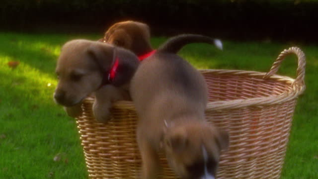 SOFT FOCUS close up puppies climbing out of basket / one puppy gettting stuck