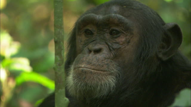 close up push-out - a chimpanzee sits in a deciduous forest and looks around / uganda - schimpansen gattung stock-videos und b-roll-filmmaterial