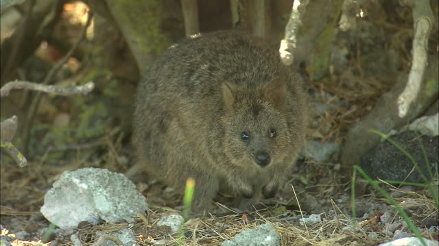 close up quokka in bush reaching up pulls down branch to eat leaves / three quokkas under bush including baby hopping about / close up front on... - beuteltier stock-videos und b-roll-filmmaterial