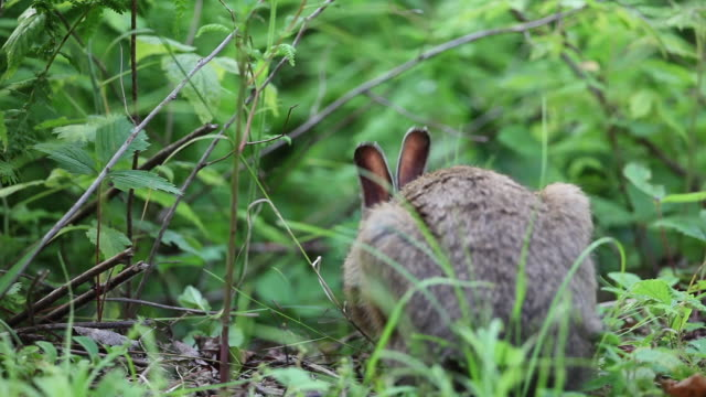 Close up, rabbit nibbles on forest floor