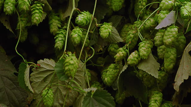 close up rack focus hops / germany - hops crop stock videos and b-roll footage