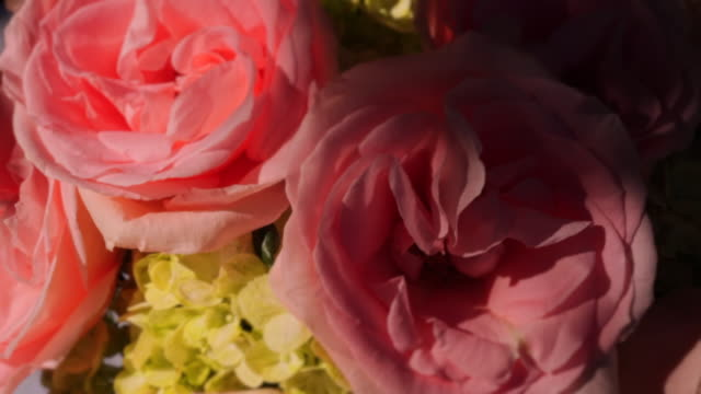 close up rack focus of pink roses with dappled light - dappled light stock videos and b-roll footage