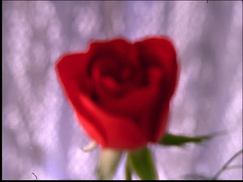 close up rack focus of red rose - valentine's day stock videos & royalty-free footage