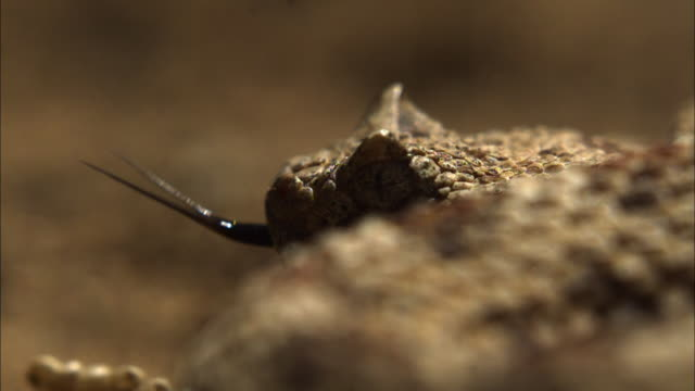 vidéos et rushes de close up rack focus side angle slow motion - coiled sidewinder rattlesnake flicks tongue, rattle is rattling in the background / california usa - serpent