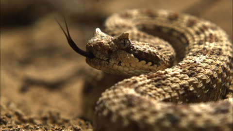 close up rack focus slow motion - coiled sidewinder rattlesnake flicks tongue / california usa - viper stock videos & royalty-free footage
