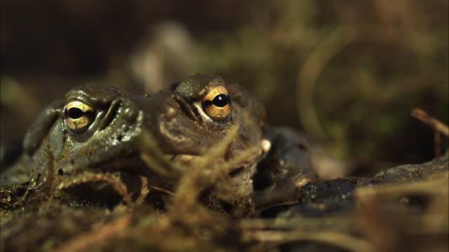vídeos de stock e filmes b-roll de close up rack focus slow motion- toad jumps toward camera / california usa - sapo